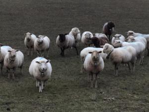 plein de moutons!